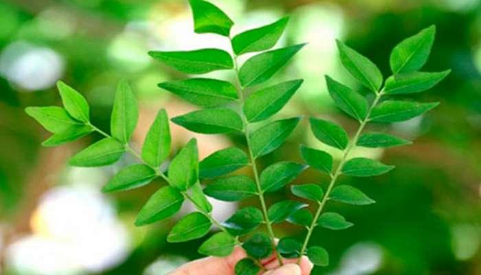 estos son los beneficios de las hojas de curry