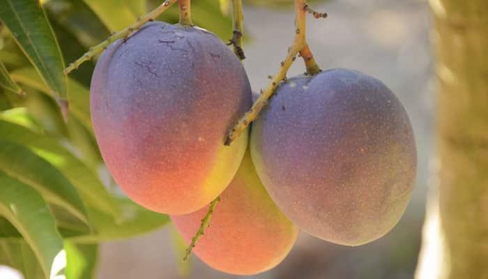 el jugo de mango y sus beneficios
