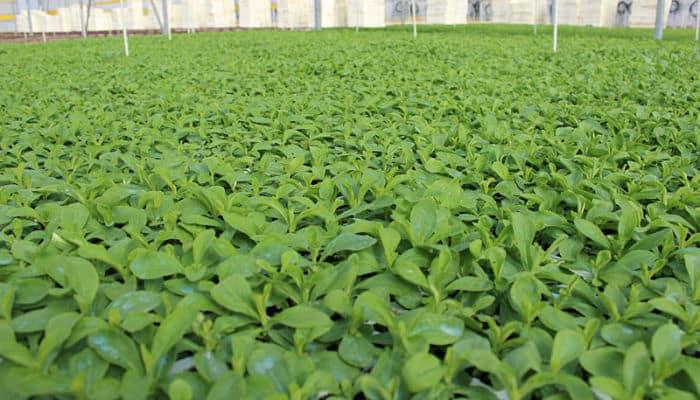 Proceso de extracción de la stevia