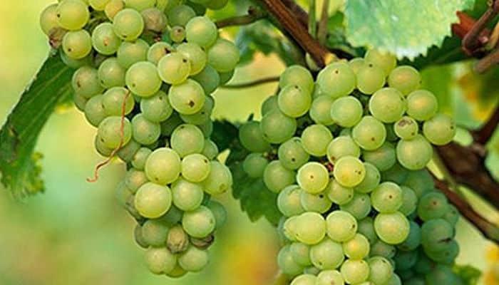 la uva verde
