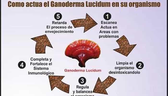 el ganoderma lucidum