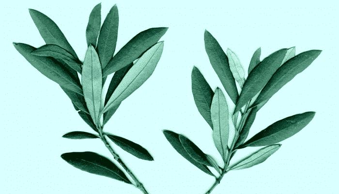 la hoja de olivo