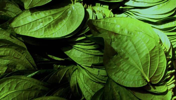 hojas de betel