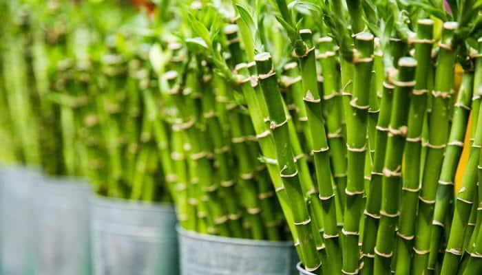 té de bambú