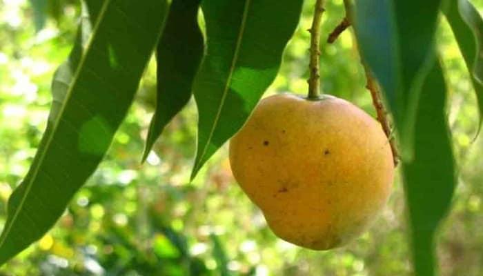 beneficios de las hojas de mango
