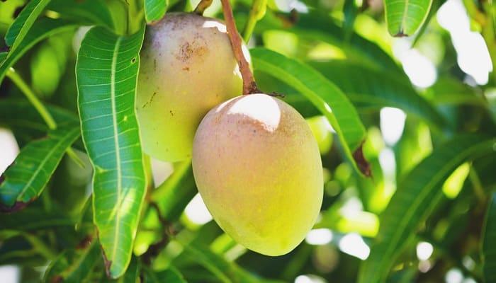 hojas de mango