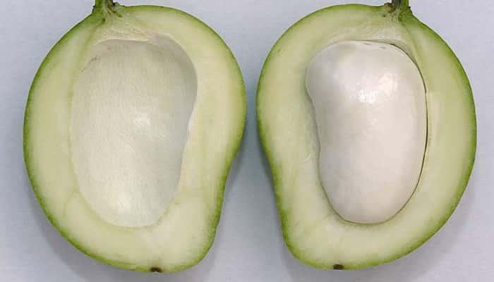 semillas de mango