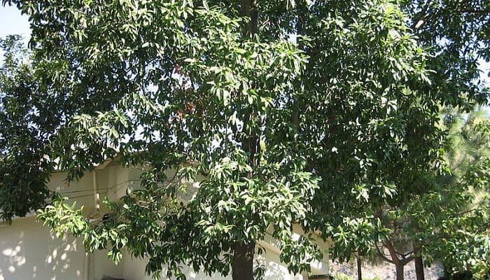 los granos de Rudraksha