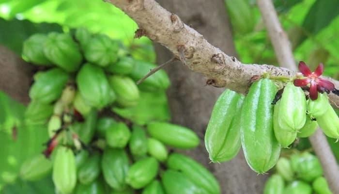 Beneficios De La Planta De Kamias
