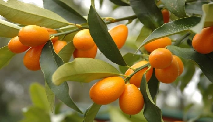 Beneficios Del Kumquat