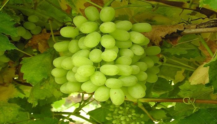 Beneficios De Las Uvas De Algodón Dulce