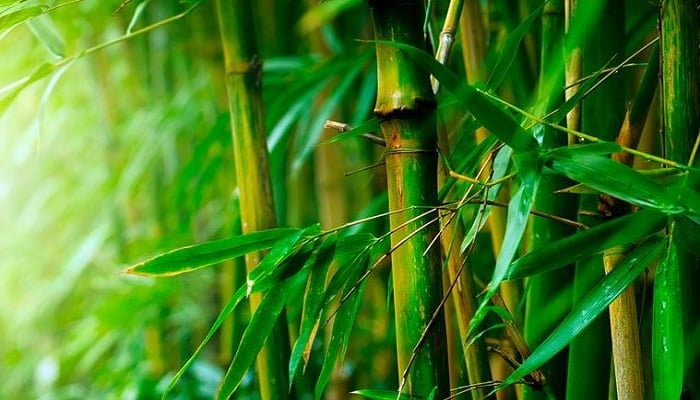 Beneficios De Las Hojas De Bambú
