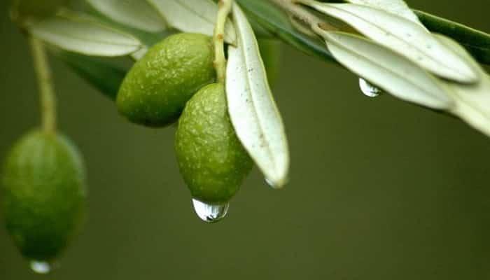 Beneficios Del Extracto De Hoja De Olivo