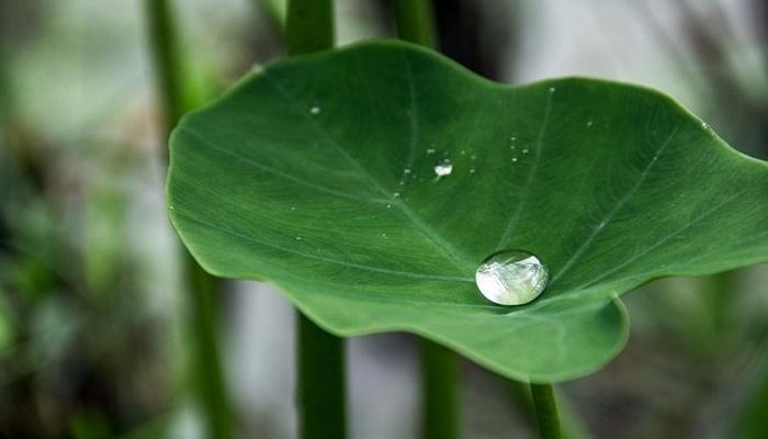 beneficios de las hojas de taro