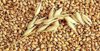 El cereal de mijo