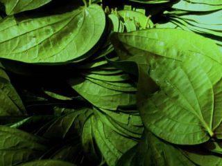 hojas de olor