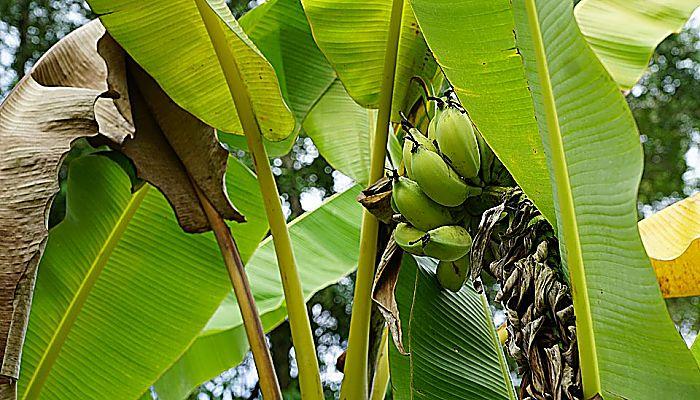 las hojas de plátano
