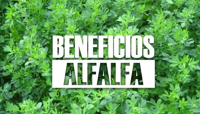 Beneficios De La Alfalfa