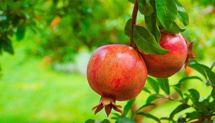 fruta milagrosa