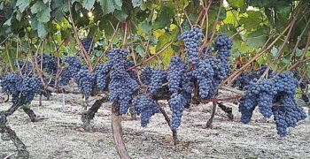 Grandes beneficios de las uvas negras